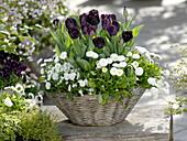 Tulipa 'Queen Of The Night', Bellis, Viola cornuta