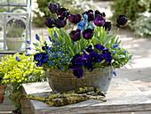 Tulipa 'Queen Of The Night' (Tulip), Viola wittrockiana