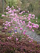 Rhododendron praecox (Vorfrühlings - Alpenrose) im Beet mit Erica carnea