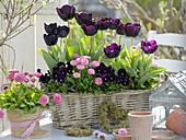 Basket with tulipa 'Queen of the Night' (Tulip), bellis