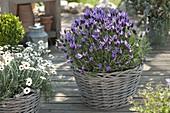 Spanish lavender 'Papillon', Leucanthemum hosmariense