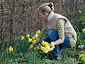 Woman picking narcissus (daffodil) in front of hedge from Carpinus