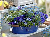 Viola cornuta Callisto 'Denim' 'Blue with Blotch', Myosotis