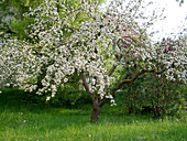 Blossoming apple tree (malus) on meadow