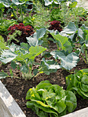 Vegetable bed with salad (lettuce) and kohlrabi (Brassica)