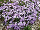 Phlox subulata 'Violet seedling' (upholstery phlox)