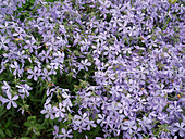 Phlox divaricata 'Clouds of Perfume' (forest phlox)