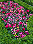 Spring flowers in Buxus enclosure (box)