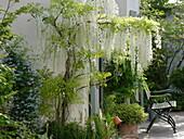 Wisteria floribunda longissima 'Alba', Clematis alpina