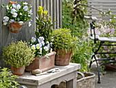 Mediterranean herbs in terracotta vessels