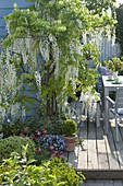Wisteria floribunda 'Alba' (white wisteria) on the wall of the house