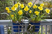 Narcissus 'Yellow River' in blue metal pots