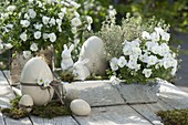 Viola cornuta Callisto 'White', lemon thyme 'Silver Queen'