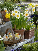 Narcissus 'Flower Record' 'Yellow River' in terracotta pots