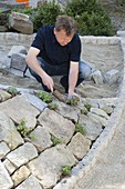 Man planting stone wall with blue cushions and cranesbill