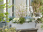 Spring box planting blue and white