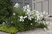Hesperis matronalis 'Alba' (White Night Vole)