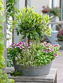 Zinc tub with laurel (Laurus) stems, Pelargonium