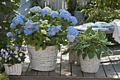 Hydrangea macrophylla 'Endless Summer', Hosta 'Francee'