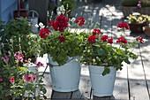 Enamelled metal bucket planted-Pelargonium Interspecific 'Caliente Deep Red'