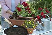 Woman planting Pelargonium Interspecific 'Caliente Deep Red'
