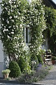 Rosa 'Madame Alfred Carriere' on house wall around window