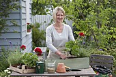 Planting geraniums and lavender in a wooden box