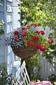 Planting hanging flower basket with geranium and bird-eye