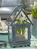 Muscari 'Alba' in a small lantern as a miniature greenhouse