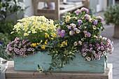 Wooden box with Argyranthemum 'Sole Mio' (Marguerite), Lantana