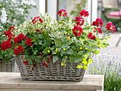 Basket with pelargonium caliente 'Deep Red' (geranium)