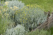 Grainy herb in bed with willow border