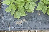 Bush beans (scarlet runner) in black mulch foil