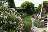 View in garden framed with hedge, Rosa 'Rosa Mundi'