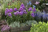 Phlox paniculata 'Purple Dome' (Phlox), Veronica