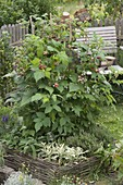 Raspberries 'Sanibelle' in herb bed with willow border