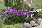 Phlox paniculata 'Purple Dome', Maculata 'Natascha'