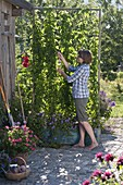 Hops as privacy screen in tin box with climbing aid on garden shed