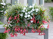 Shadow box with Begonia Summerwing's 'Rose', Abelia