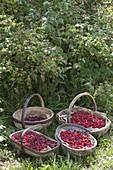 Baskets of freshly picked raspberries (Rubus idaeus)