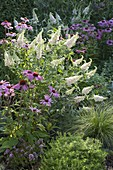 Bed with Buddleia Buzz 'Ivory', Echinacea purpurea 'Magnus'