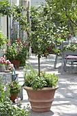 Prunus Cerisier 'Nabella' (Dwarf Sour Cherry) by Delbard