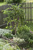Gooseberry 'Hinnonmäki' (Ribes uva-crispa) in herb bed