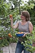 Woman picking apricots (apricot)
