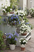 Holztreppe mit blauen und weißen Pflanzen : Convolvulus sabatius