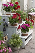 Wooden staircase with Pelargonium 'Atomic Snowflake' on the front, 'Concolor Lace'