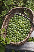 Basket with freshly picked green gooseberries