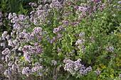Origanum vulgare 'cultivated form' (oregano, Dost)