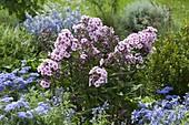 Phlox paniculata 'Country wedding', Salvia farinacea