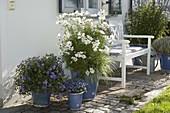 Hauseingang mit Cosmos Sonata 'White' (Schmuckkörbchen), Salvia uliginosa